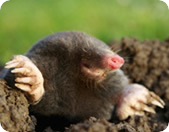 Highstreet Green Mole Catcher